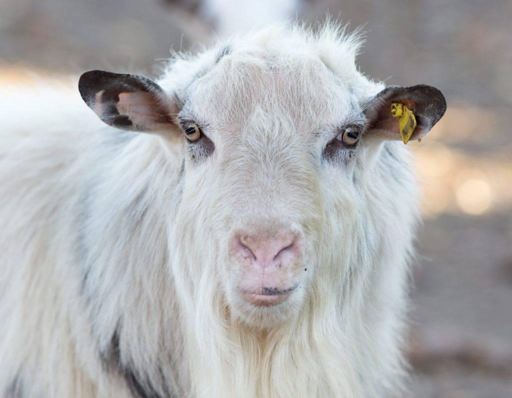 Козы альпийской породы: преимущества и недостатки содержания