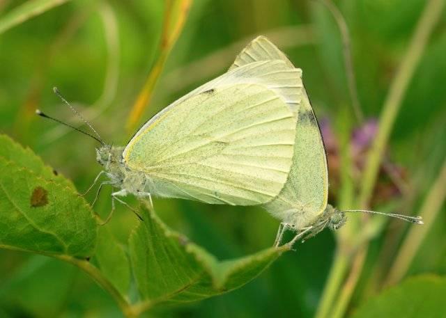 Как избавиться от бабочки-капустницы: эффективные способы борьбы