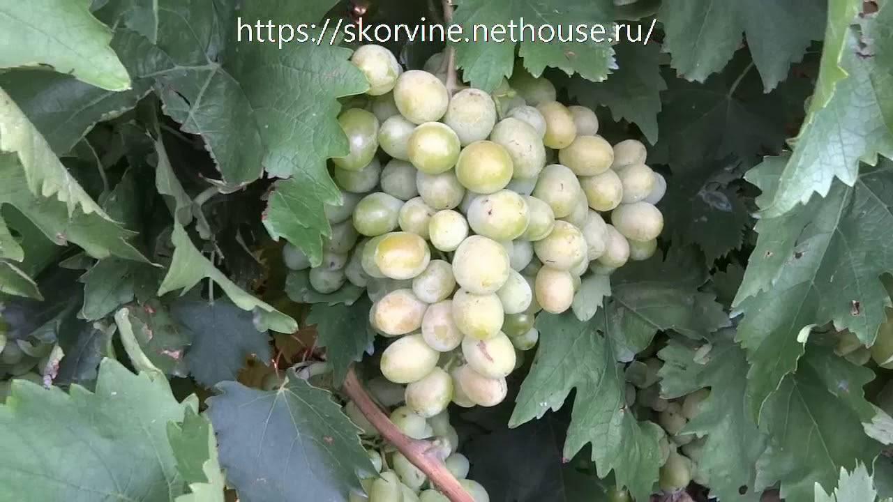 Виноград ланселот: описание, фото и отзывы