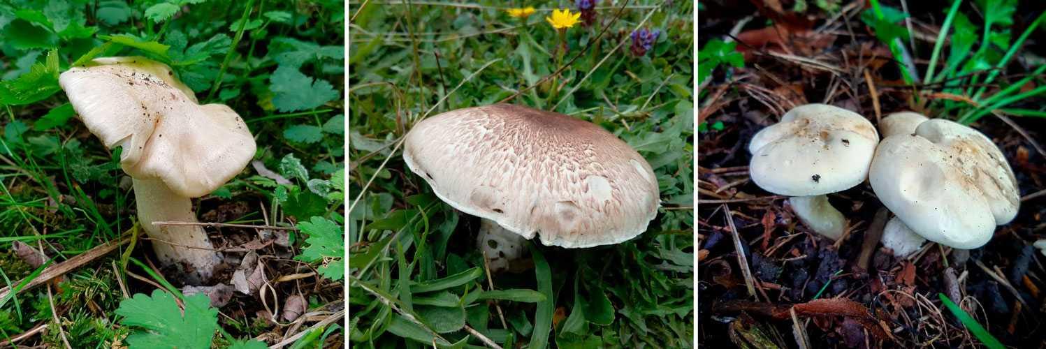 Энтолома ядовитая или оловянная (entoloma sinuatum): фото и описание ядовитого гриба