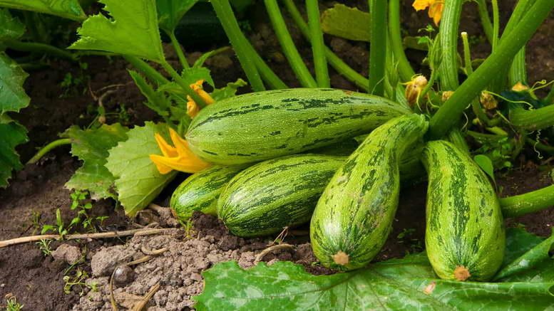 Кабачки: выращивание семенами, посадка, уход | (фото)+отзывы
