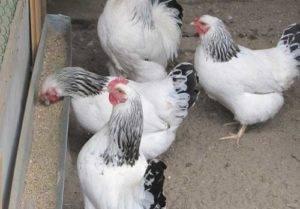 Первомайская порода кур: описание, содержание и уход