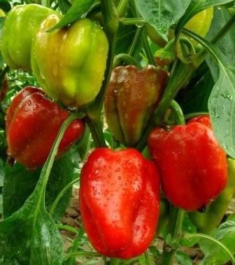 Почему гусеница ест перец - журнал садовода ryazanameli.ru