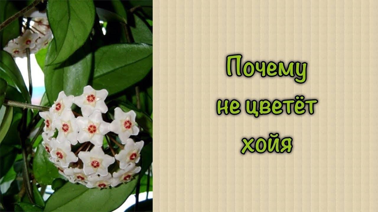 Хойя: уход в домашних условиях, выбор места и освещения, грунт, полив, размножение - sadovnikam.ru