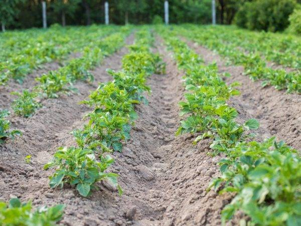 Окучивание картошки мотокультиватором: тонкости процедуры