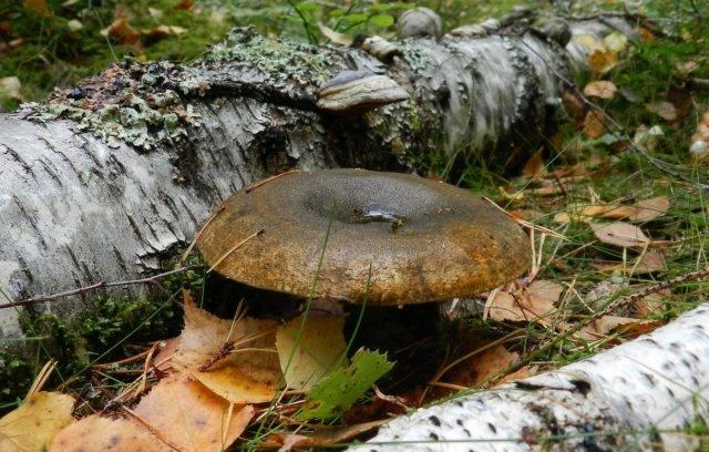 Чернушки где растут – черный гриб (гриб чернушка) – описание, фото, где растут