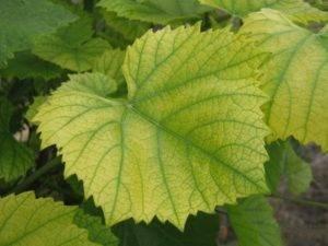 О чем говорят светло зеленые листья винограда - дневник садовода flowersdi.ru
