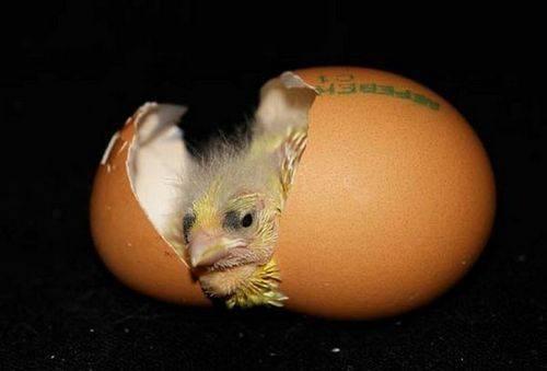 Сбор и хранение инкубационных куриных яиц