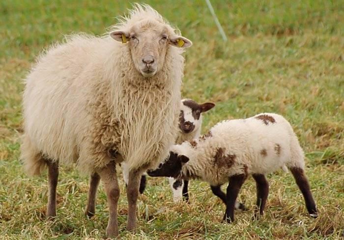 Кормление ягнят без овцы