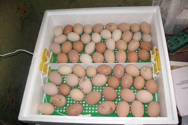 Как правильно заложить яйца в инкубатор в домашних условиях
