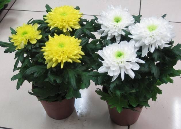 Хризантема из семян (19 фото): выращивание рассады однолетних и многолетних хризантем. как сажать семена хризантемы и вырастить их в домашних условиях?