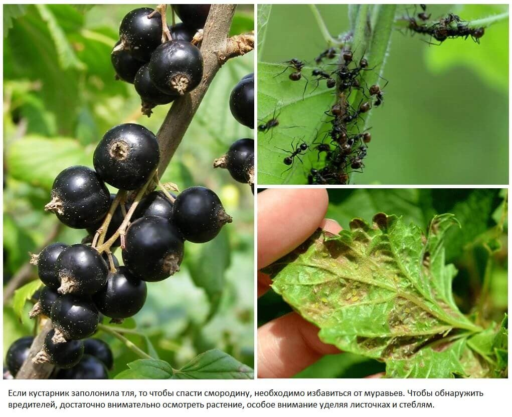 У смородины скручиваются листья чем обработать - причины, советы что делать и как вылечить смородину (125 фото + видео)
