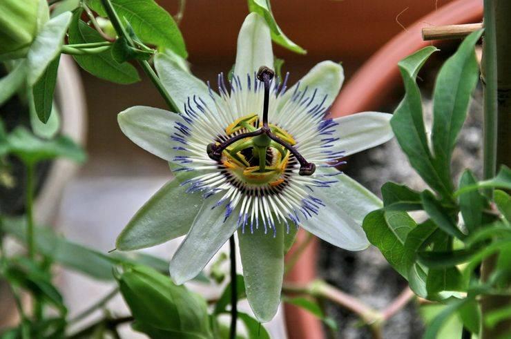 Пассифлора - экзотическая лиана для вашего сада. посадка, уход, размножение