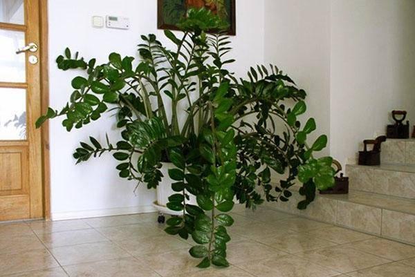 Долларовое дерево: размножение в домашних условиях листом и отростком