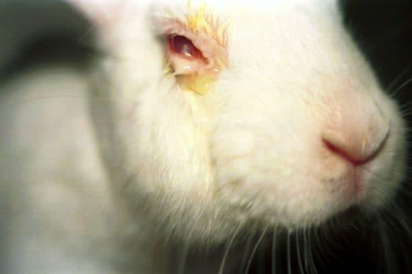 Болезни глаз у кроликов