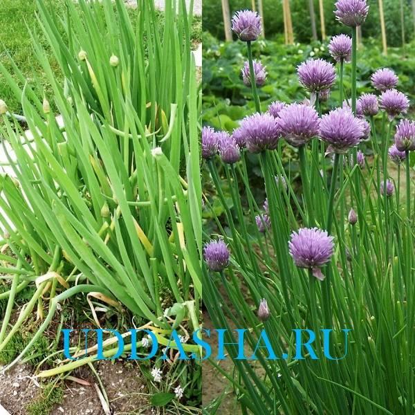 Лук батун из семян, выращивание и уход в открытом грунте