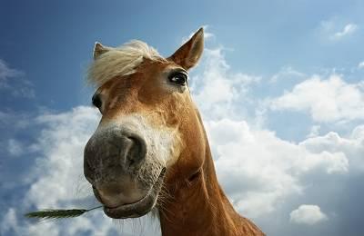 Гастрофилез у лошади: этиология, лечинка, причина заболевания, симптомы и лечение