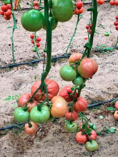 Томат розовый спам : описание сорта, характеристика, фото русский фермер