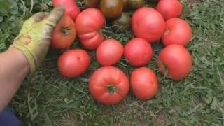 Томат виагра: описание и характеристика сорта, фото, отзывы, урожайность