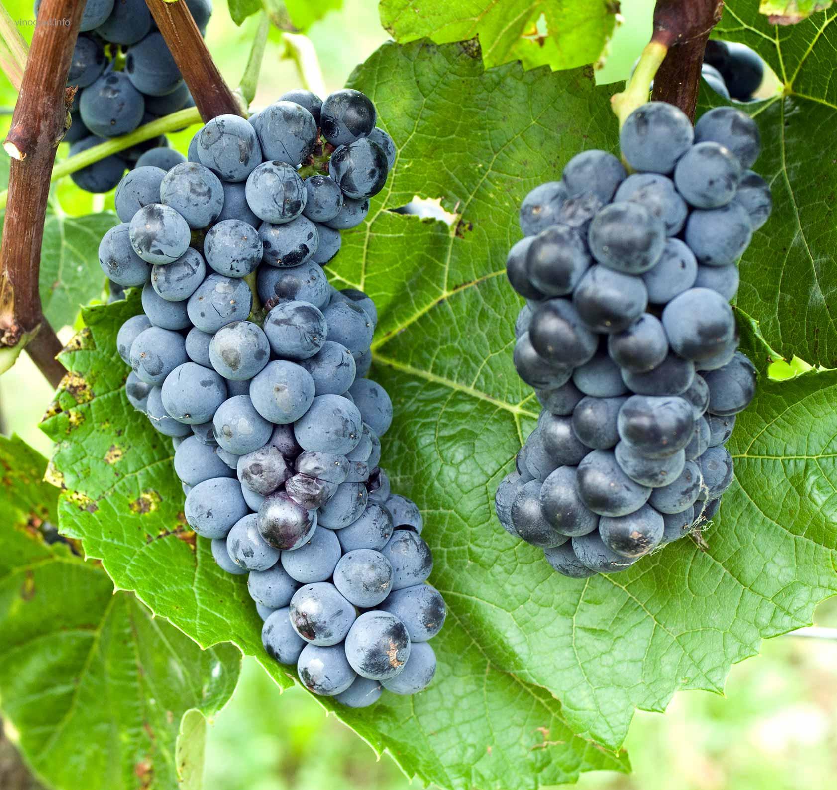 Характеристика винограда сорта вэлиант - агро журнал dachnye-fei.ru