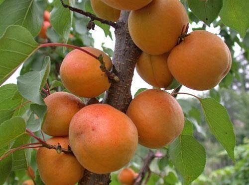 Время, правила и схема обрезки абрикоса