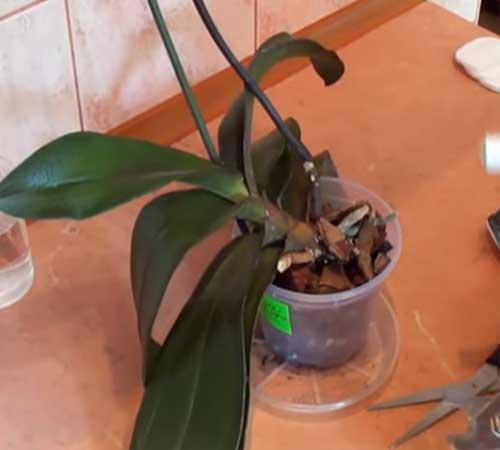 Актуальный вопрос: когда орхидея отцвела, что делать со стеблем?