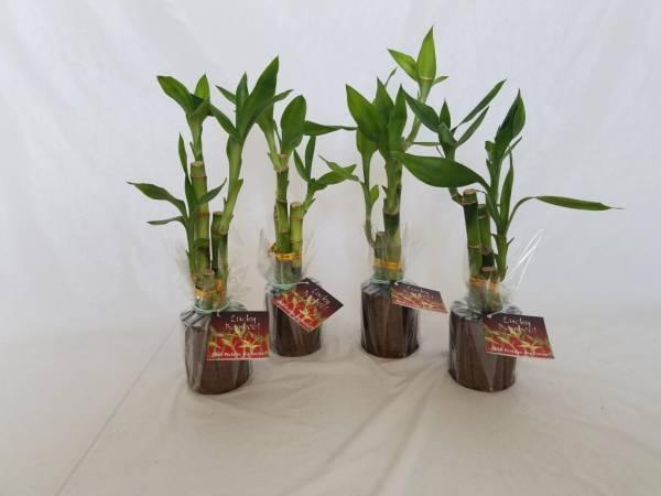 Размножение бамбука в домашних условиях