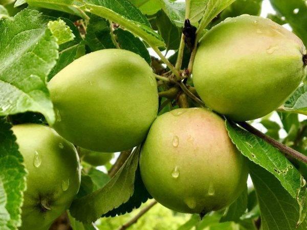 Описание сорта яблони рождественское: фото яблок, важные характеристики, урожайность с дерева