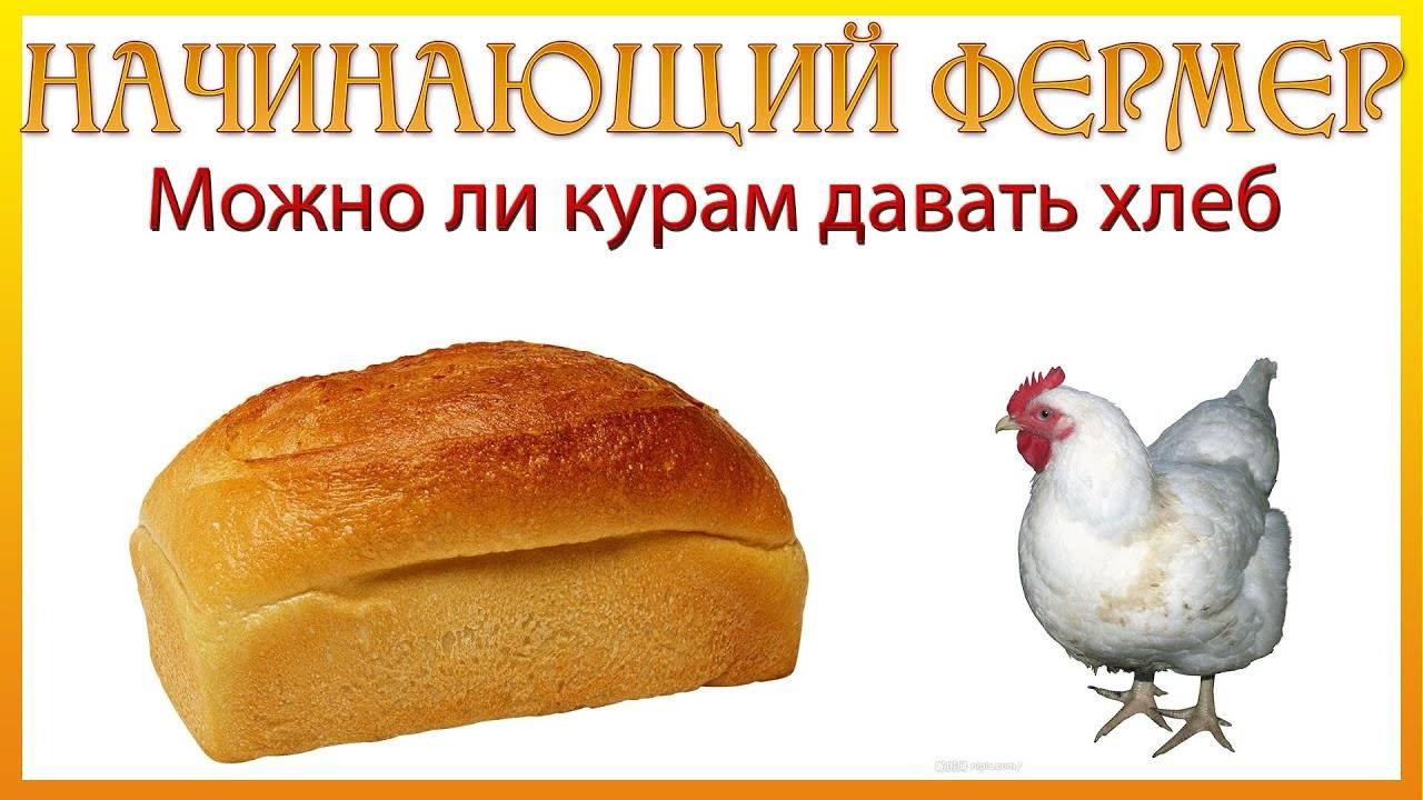 Каким хлебом можно кормить кур и как правильно это делать. польза и вред различных хлебобулочных изделий