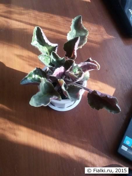 У домашней фиалки закручиваются листья во внутрь и вниз