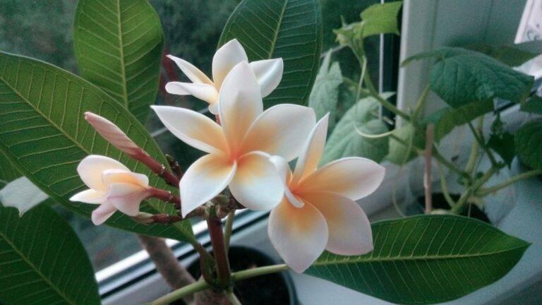 Плюмерия: уход в домашних условиях, выращивание из семян, виды, фото