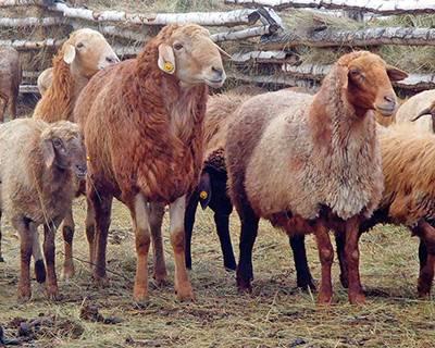 Романовская порода овец (65 фото): описание ягнят и баранов, содержание и разведение
