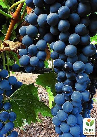Характеристики винограда «ливадийский черный»: описание сорта, фото и отзывы о нем