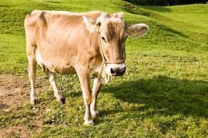 Особенности монбельярдской породы коров