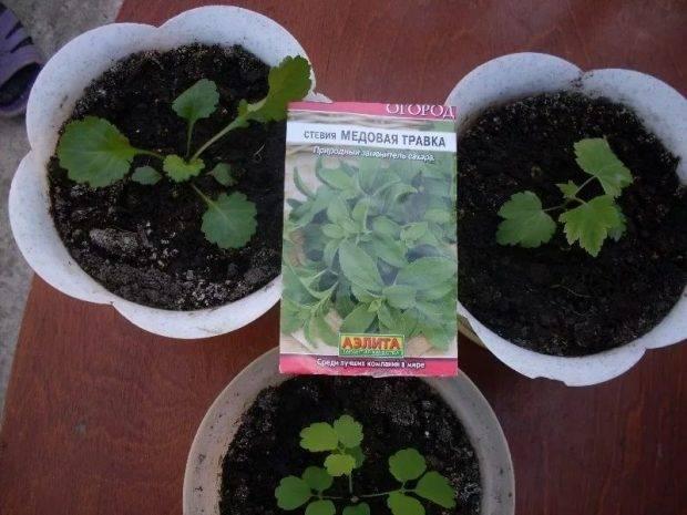 Стевия, как вырастить на даче. выращивание стевии в открытом грунте