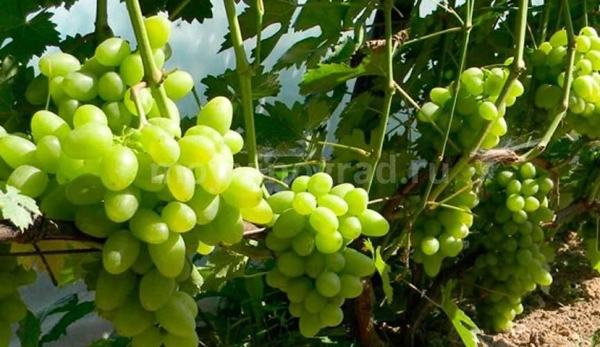 Виноград эверест: описание сорта, правила ухода, фото и отзывы