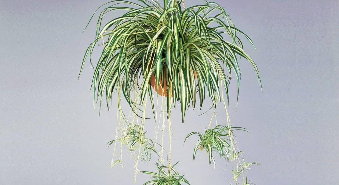 Хлорофитум уход в домашних условиях фото цветка