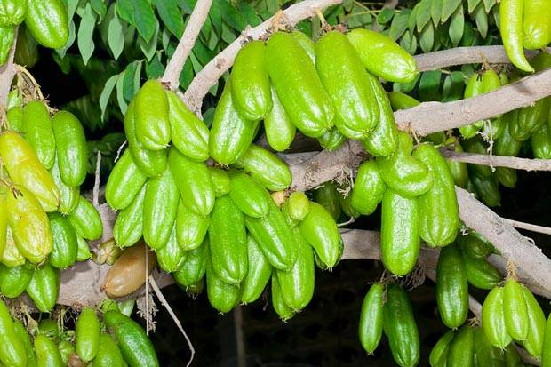 Виды и особенности огуречного дерева