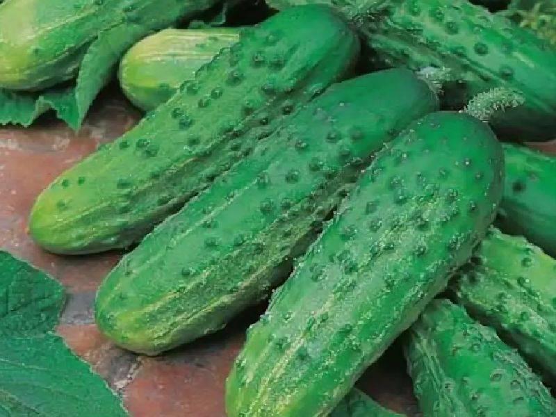 Огурец фурор f1: описание и урожайность сорта, отзывы, фото