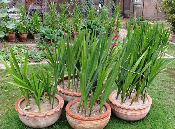 5 правил посадки гладиолусов в домашних условиях
