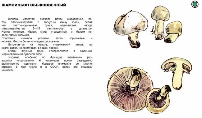 Как выглядит шампиньон: описание, фото :: syl.ru
