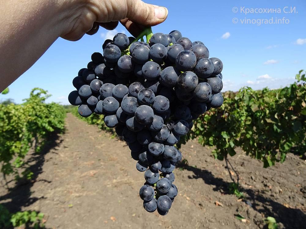 Морозоустойчивые сорта винограда: советы по выбору сорта от виноградаря-практика на supersadovnik.ru