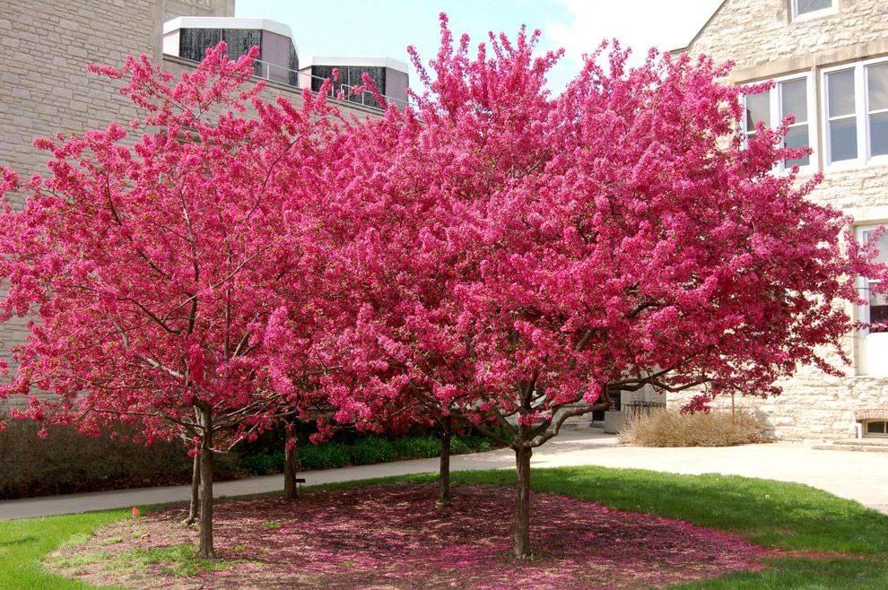Лучшие декоративные яблони с красными листьями и цветами для подмосковья