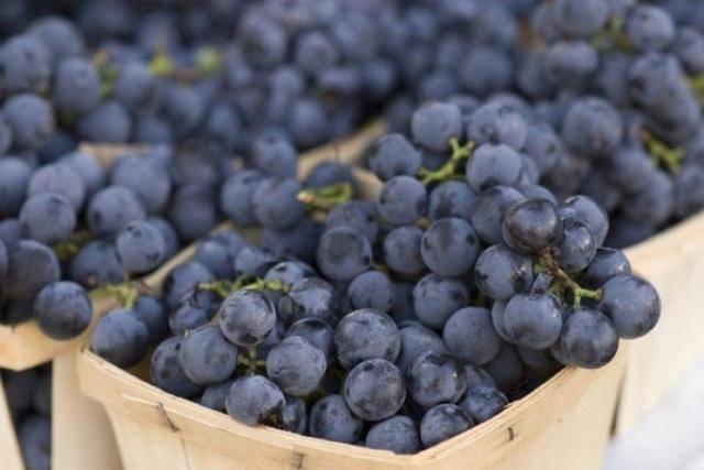 Описание и фото винограда сорта изабелла, польза и вред, отзывы