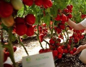 Аделина: описание сорта томата, характеристики помидоров, посев