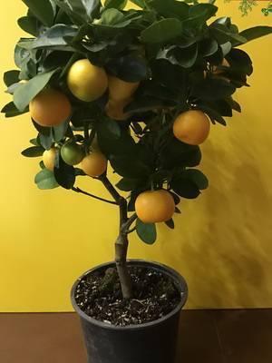 Грейпфрут: где растет, как выбрать, фото фрукта