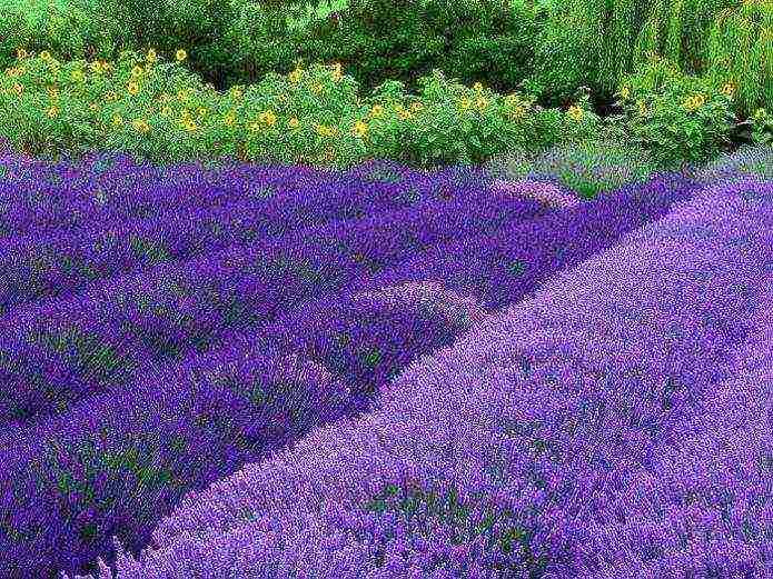 О выращивании лаванды, посадке и уходе в открытом грунте, удобрение и обрезка
