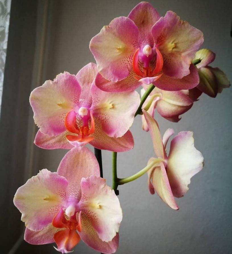 Орхидея фаленопсис пелорик: определение, что это такое и фото разновидности бабочка