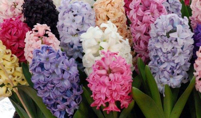 Как хранить луковицы гиацинтов: методы, советы