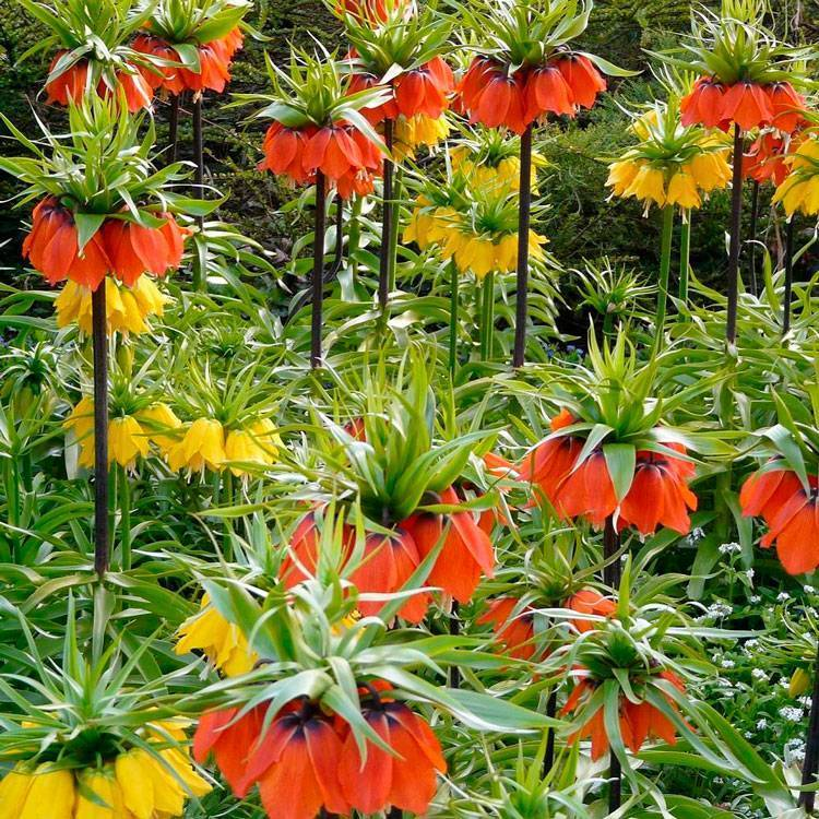 Почему не цветет рябчик императорский, одни листья